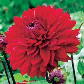 Dahlia  Garden Wonder 2