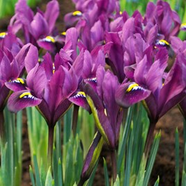 Iris reticulata - Purple Hill