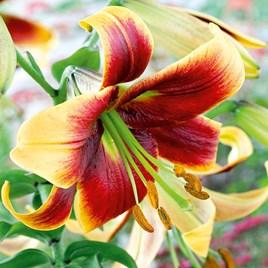 Lily - Tree Cezanne