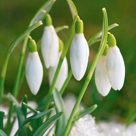 Snowdrop Bulbs - Common