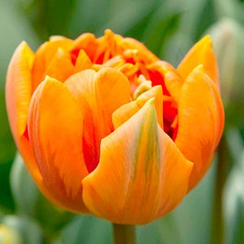 An award-winning tulip, which is a double form of the popular Princess Irene. Its sturdy stems support bowl-shaped flowers whose rich orange petals ar