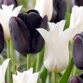 Tulip Bulbs - Black and White Twin Pack