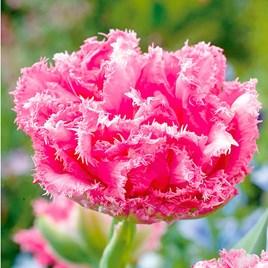 Tulip (Fringed) Bulbs - Crispion Love