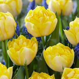 Tulip Bulb - Secret Perfume