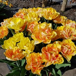 Tulip Bulbs - Foxy Foxtrot