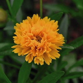 Coreopsis Plant -  Golden Joy