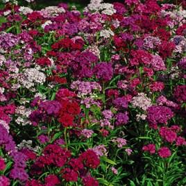 Sweet William Plants - Sweet