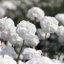 Achillea Seeds - Ptarmica Noblessa