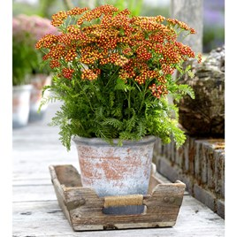 Achillea Plant - Milly Rock Red