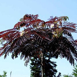 Albizia julibr. 'Summer Chocolate'®