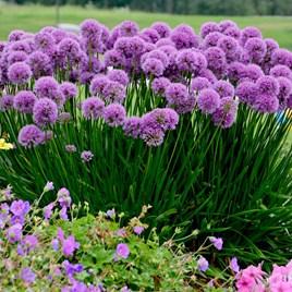 Allium Plants - Millenium