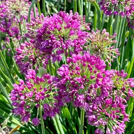 Allium Plants - Lavender Bubbles