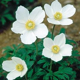 Anemone Sylvestris 1 Litre Pot x 1