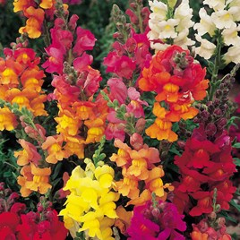 Antirrhinum Seeds - Dobies Giant-Flowered Mixed -