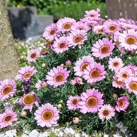 Argyranthemum Sherbet Frost Pink (6)