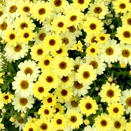 Argyranthemum Plant - Gold