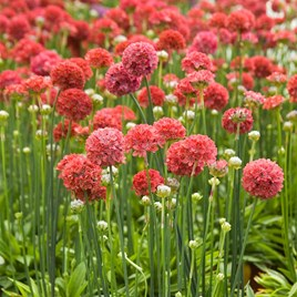Armeria Plants - Ballerina Red