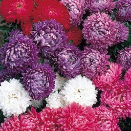 Aster Seeds - Milady Mixed