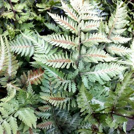 Athyrium Plant MetallicumThe spectacular 'Japanese Painted Fern'The Athyrium Plant Metallicum is truly spectacular! This fully hardy deciduous fern is