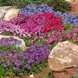 Aubrieta Seeds - Spring Charm Mixed