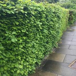 Fagus sylvatica (Green Beech) Plant