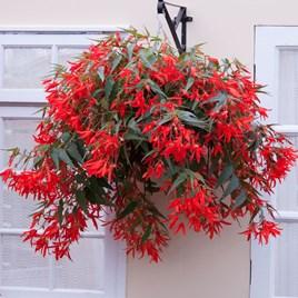 Begonia Santa Cruz (10)