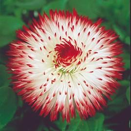 Bellis Plants - Habanera White Red Tips