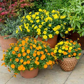 Calendula Powerdaisy Plug Plants
