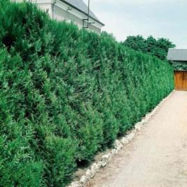 Thuja Atrovirens (Western Red Cedar) Plant
