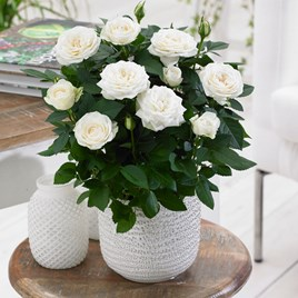 Rose Plant - Christmas Rose