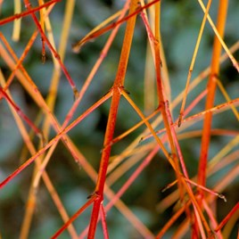 Cornus Anny's Winter Orange