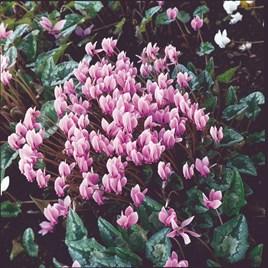 Cyclamen Hederifolium Seeds - Winter Cheer