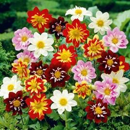 Dahlia Plant - Harlequin Mix