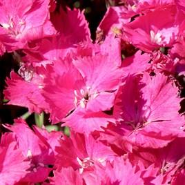Dianthus Plant - Vivid Bright Light