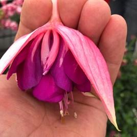Fuchsia G.F. Taffeta Bow (6)