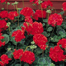 Geranium Seeds - Vista Series Red F2