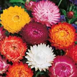 Helichrysum Seeds - Monstrosum Double Mixed