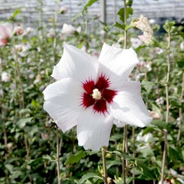 Hibiscus syr. 'Shintaeyang'
