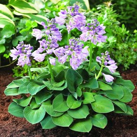 Hosta Blue Mouse Ears Potted Plants
