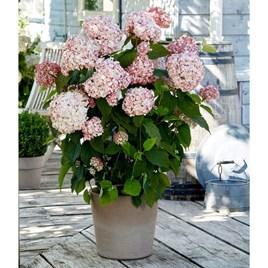 Hydrangea arb. Candybelle® Bubblegum