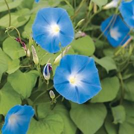 Ipomoea Seeds - Heavenly Blue