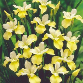 Iris Sibirica Bulbs - Butter and Sugar