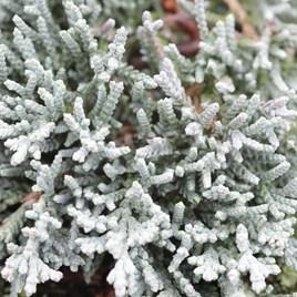 Juniperus Hor. Icee Blue