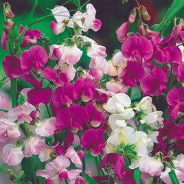 Lathyrus Latifolius Seeds - Mixed