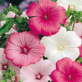 Lavatera Seeds - Beauty Mixed