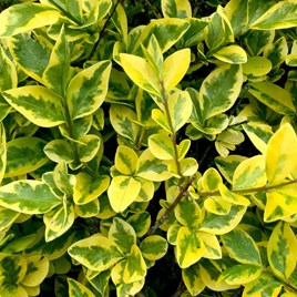 Ligustrum Aureum (Golden Privet) Plant
