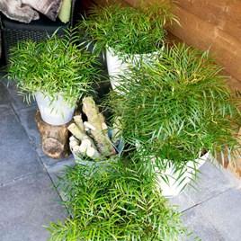 Mahonia eur. Plant - Soft Caress®