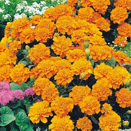 Marigold (French) Seeds - Orange Winner