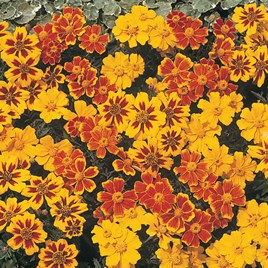 Marigold (Dwarf French) Seeds - Disco