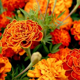 French Marigold Seeds- Spanish Brocade